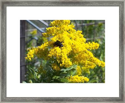 Golden Rod Framed Print by Rosalie Klidies