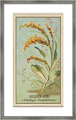 Golden Rod Solidago Canadensis Framed Print