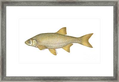 Golden Shiner Framed Print