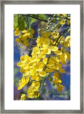 Golden Shower Tree - Cassia Fistula - Kula Maui Hawaii Framed Print by Sharon Mau