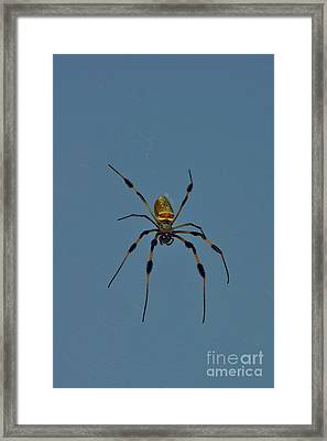 Golden Silk Orbweaver Framed Print by Lynda Dawson-Youngclaus