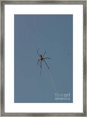 Golden Silk Orbweaver Male Framed Print