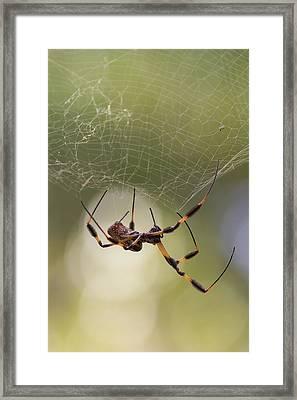 Golden-silk Spider Framed Print