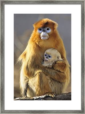 Golden Snub-nosed Monkey And Baby China Framed Print