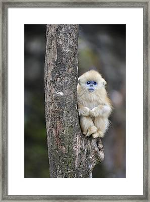 Golden Snub-nosed Monkey Young China Framed Print by Thomas Marent