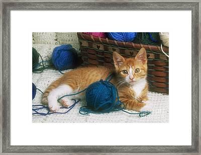 Golden Tabby Kitten Framed Print by David Davis