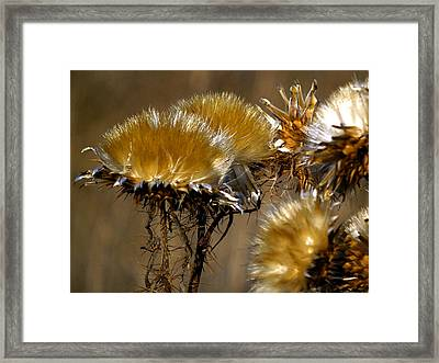 Golden Thistle Framed Print by Bill Gallagher