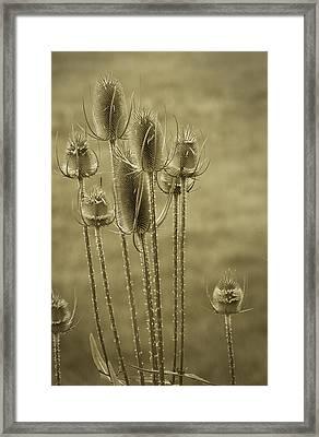 Golden Thistles Framed Print