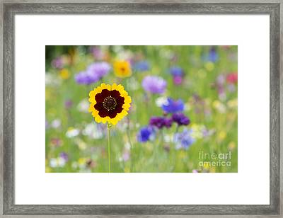 Golden Tickseed Framed Print by Tim Gainey