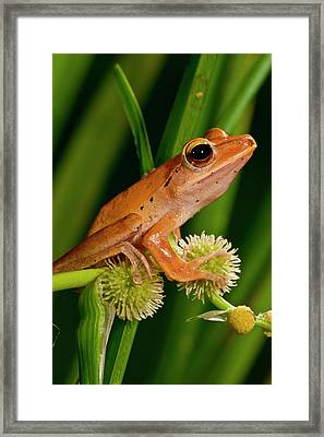 Golden Treefrog, Rhacophorus Framed Print by David Northcott