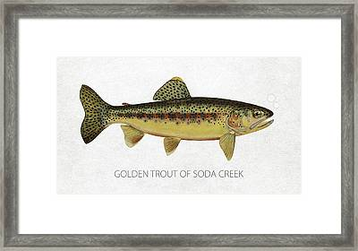 Golden Trout Of Soda Creek Framed Print by Aged Pixel