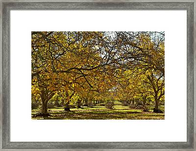 Golden Walnut Orchard Framed Print by Michele Myers
