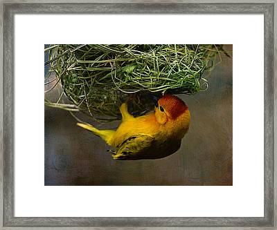 Golden Weaver Building A Nest Framed Print by Maria Angelica Maira