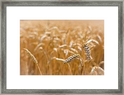 Framed Print featuring the photograph Golden Wheat. by Gary Gillette