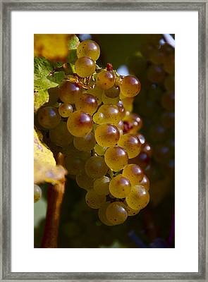 Golden Wine Grapes Framed Print