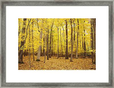 Golden Woods Framed Print