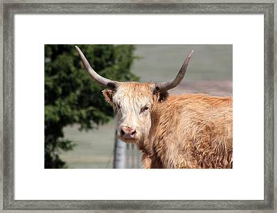 Golden Yak Framed Print