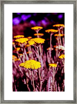 Golden Yarrow On A Blood Moon Night Framed Print