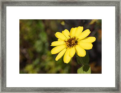 Golden Zinnia Framed Print by Photographic Arts And Design Studio