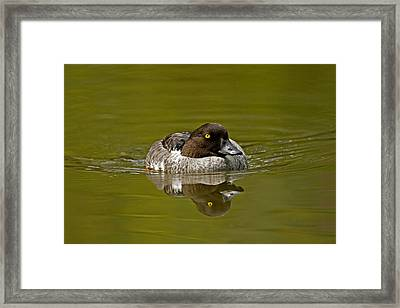Goldeneye Framed Print by Paul Scoullar