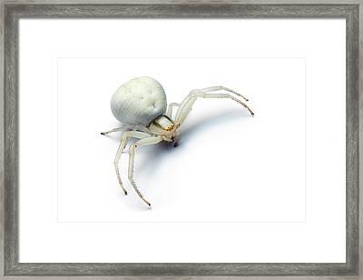 Goldenrod Crab Spider Framed Print by Alex Hyde