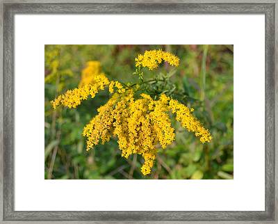 Framed Print featuring the photograph Goldenrod by Mary Zeman