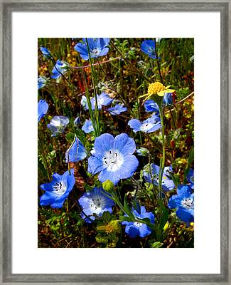 Goldfields And Baby Blue Eyes In Park Sierra-ca Framed Print by Ruth Hager