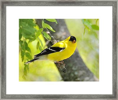 Goldfinch 299 Framed Print