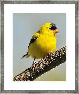 Goldfinch 306 Framed Print