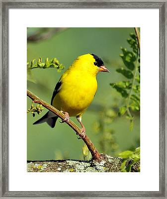 Goldfinch 328 Framed Print