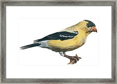 Goldfinch  Framed Print by Anonymous