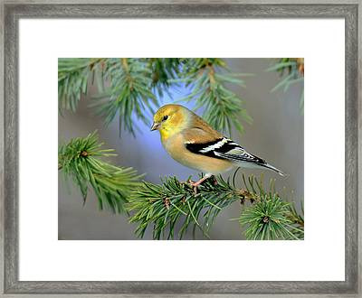 Goldfinch In A Fir Tree Framed Print by Rodney Campbell
