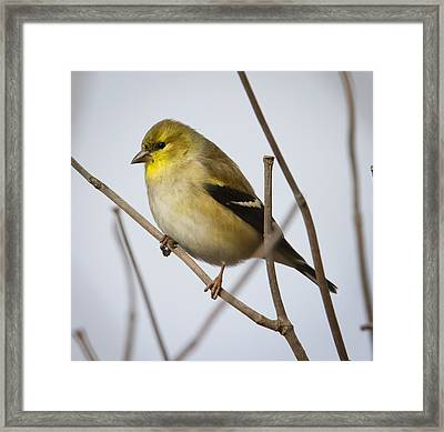 Framed Print featuring the photograph Goldfinch In It's Winter Coat by Ricky L Jones