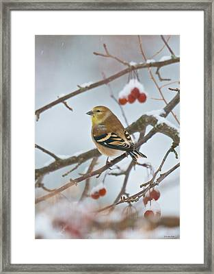 Goldfinch In Snow Framed Print
