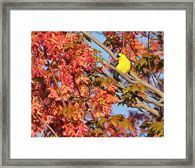 Goldfinch In Spring Maple Tree Framed Print