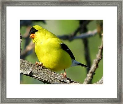 Goldfinch Framed Print by Marcus Moller