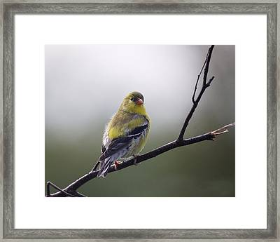 Framed Print featuring the photograph Goldfinch Molting To Breeding Colors by Susan Capuano
