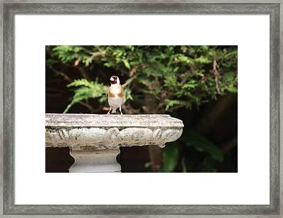 Goldfinch On Birdbath Framed Print by Gordon Auld