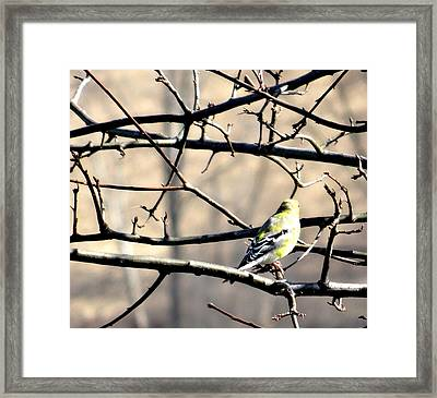 Goldfinch On Budding Branch Framed Print
