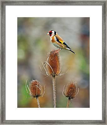 Goldfinch On Teasel Head. Framed Print