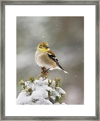 Goldfinch In The Snow Framed Print