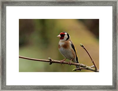 Goldfinch Framed Print by Peter Skelton