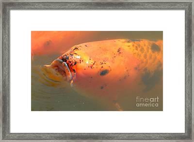 Goldfish 2 Framed Print by Nathanael Smith
