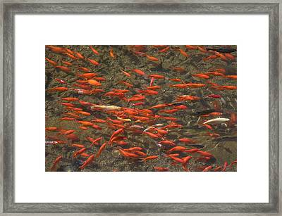 Goldfish Carassius Auratus Swimming Framed Print