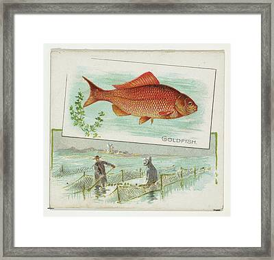 Goldfish, From Fish From American Framed Print
