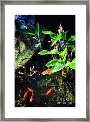 Framed Print featuring the photograph Goldfish In Pond by Silvia Ganora
