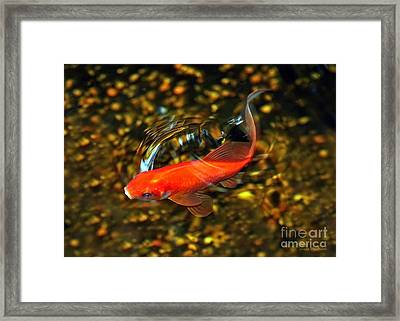 Goldfish Swimming Framed Print