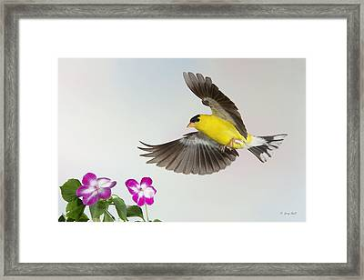 Framed Print featuring the photograph Goldie Confronting His Impatiens by Gerry Sibell
