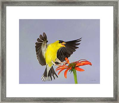 Goldie's Mad Framed Print