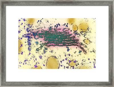 Golgi Apparatus Framed Print by Biology Pics